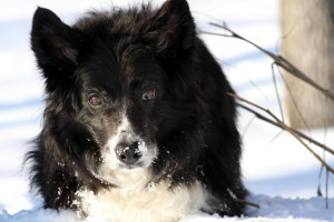 frontière, colley, chien, neige