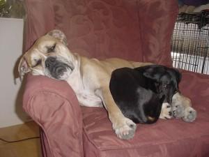 Boxer, dachshund, adormit, scaun