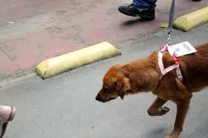 hnědá, pes, show