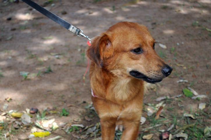 cute, brown, dog, face, leash