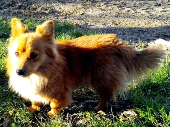 dog, looks,fox