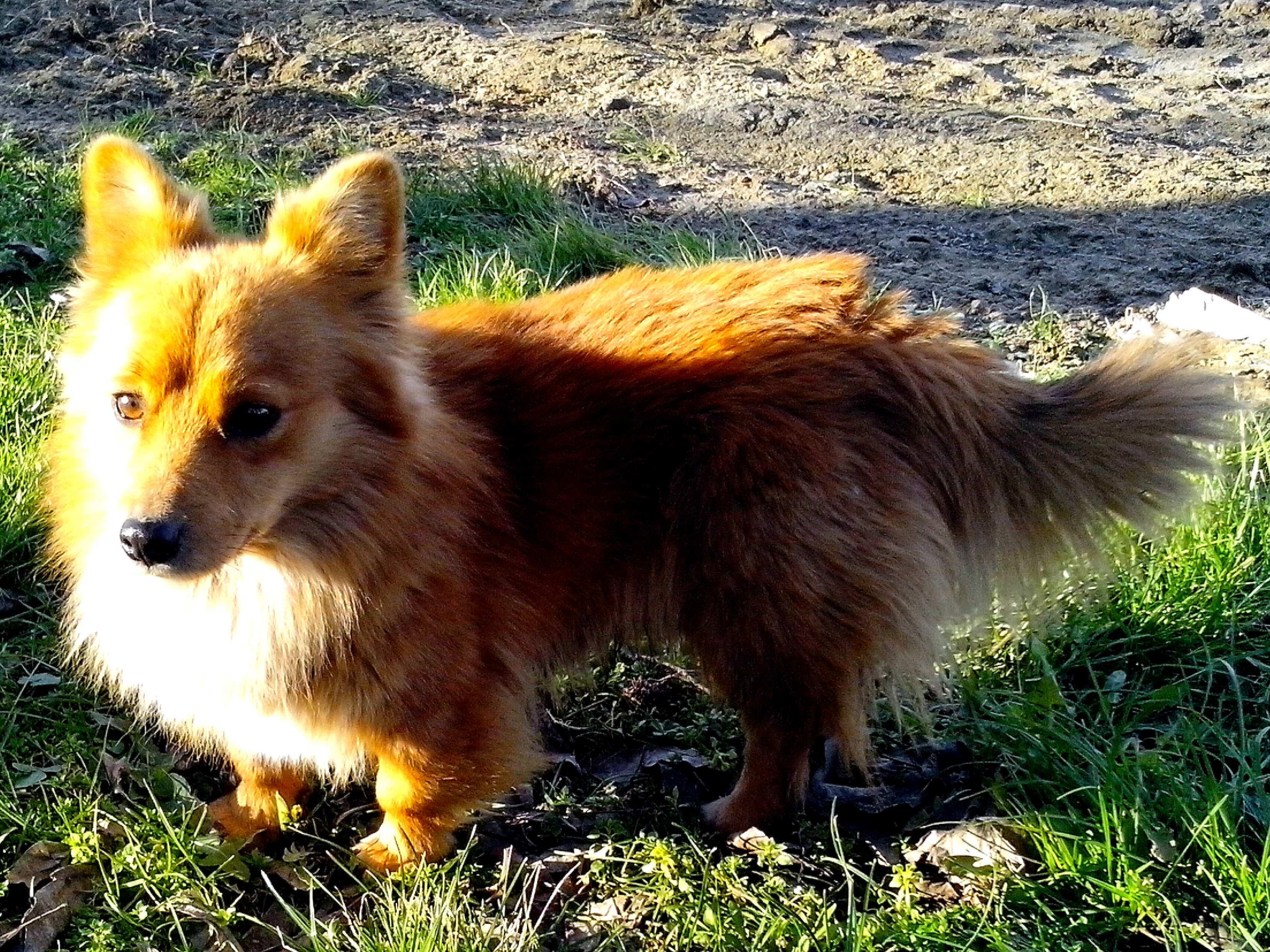 Free photograph; dog, looks, like, fox