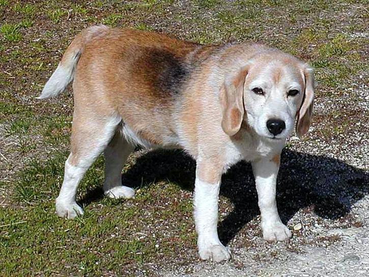 cães, beagles