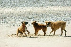 dogs, play, beach, sand