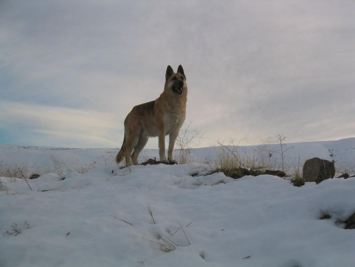 german, shepard, dog