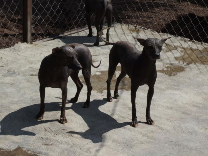 mexican, hairless, dogs