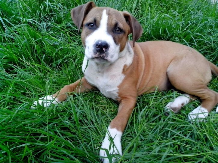 puppy, boxer, breed, dog, lying, grass