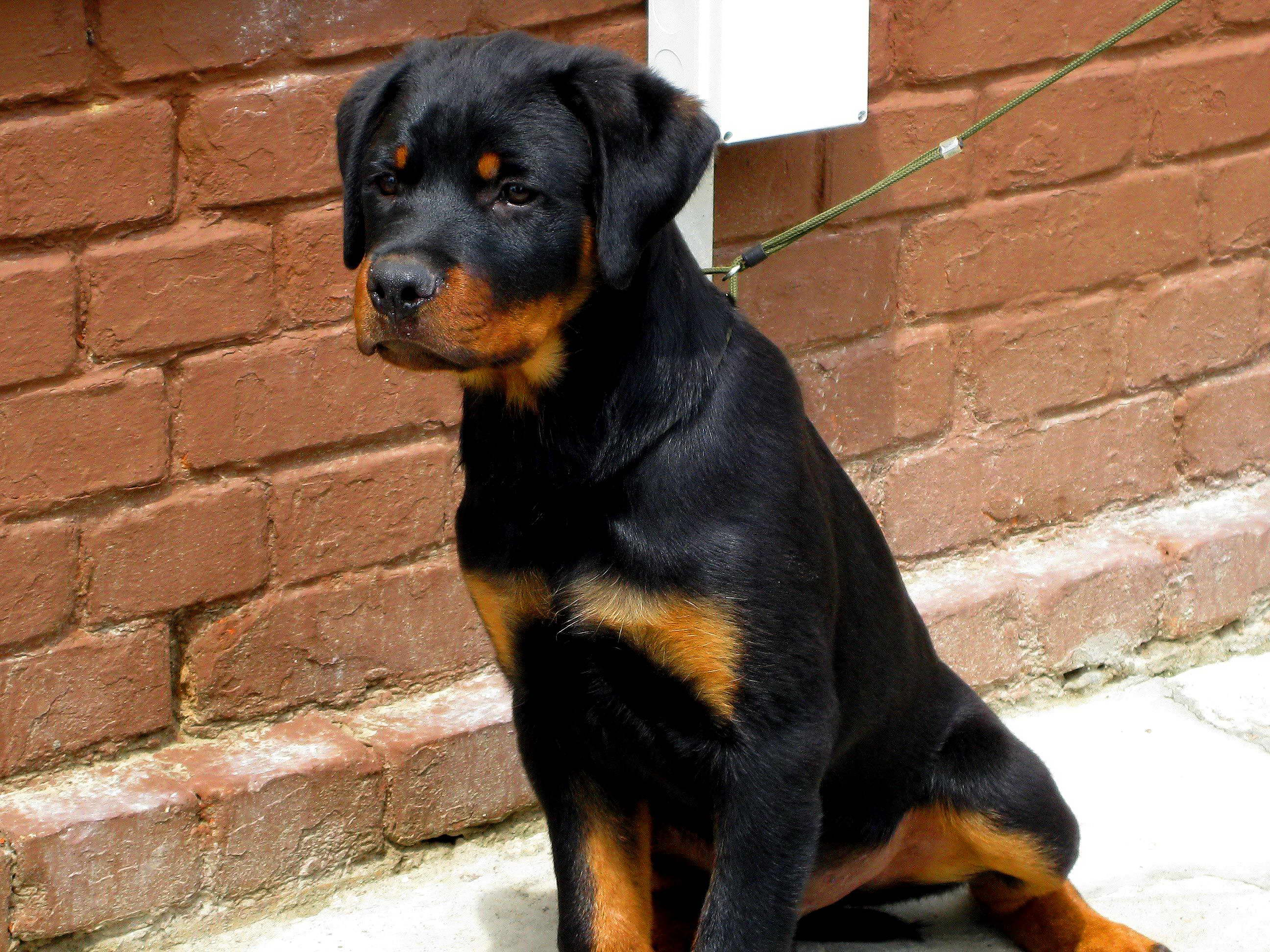 Free picture: rottweiler, dog
