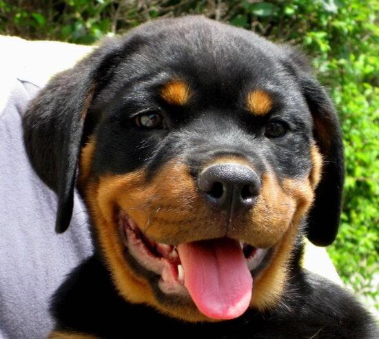 rottweiler, puppy, face
