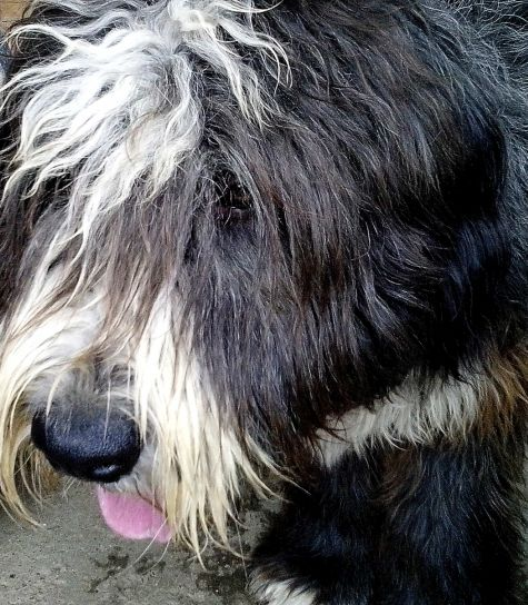 sheepdog, visage