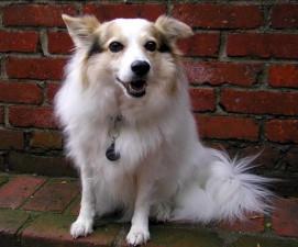 blanc, mignon, chien