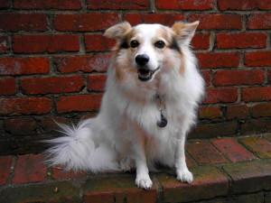 blanc, assez, chien