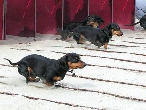 wiener, dogs, races