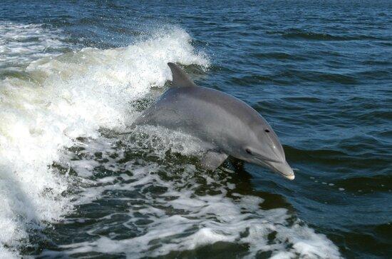 bottlenose, dolphin