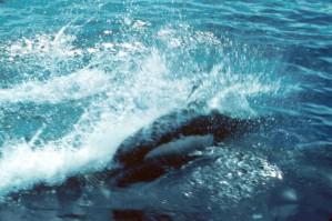dalls, marsopas, mamíferos marinos, Phocoenoides, dalli