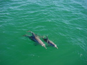 dolphins, sea