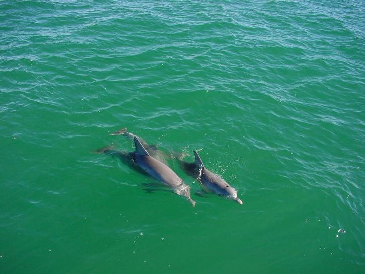 delfiner, hav