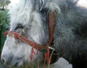 donkey, head
