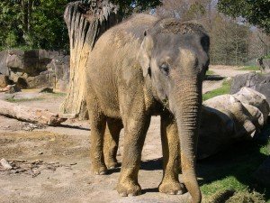 Africano, arbusto, elefante