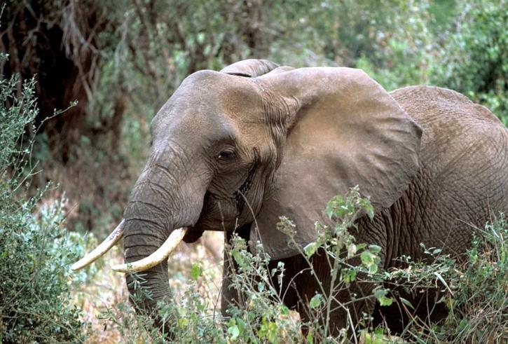 Africano, elefante, de alta resolución