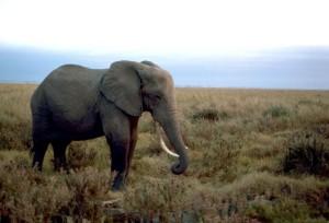 Africano, elefante, varón