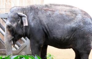 grande, elefant