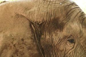 elephant, up-close, animal