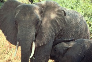 слонове, Танзания, Африка
