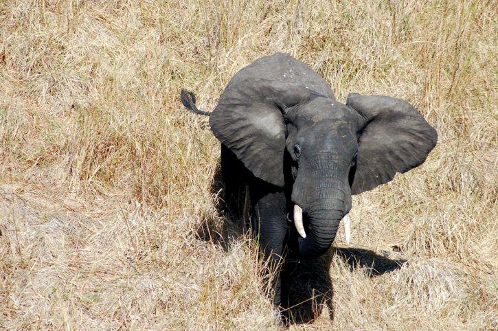 мъжки, бик, слон, улавяне, превод, Majete, фауна, резерват, Малави