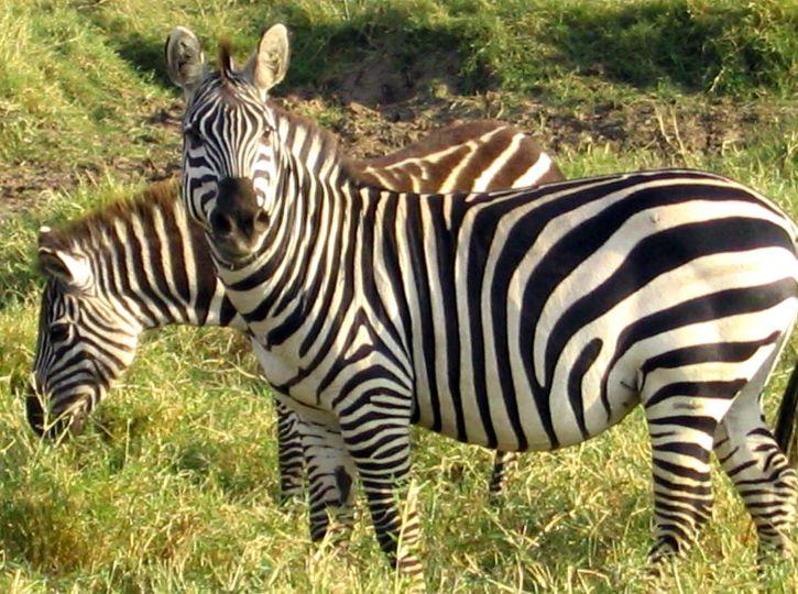 en peligro de extinción, Grevys, cebras, animales, mamíferos, Equus, grevyi, la familia, los équidos
