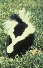dos, rayé, skunk, mephitis, mephitis