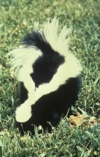 back, striped, skunk, mephitis, mephitis