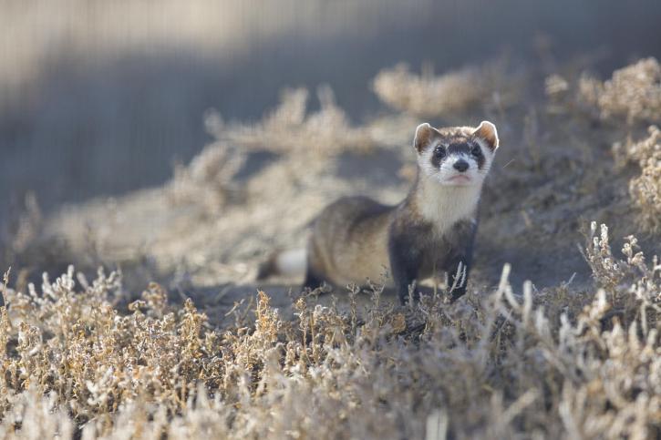 black, footed, ferret