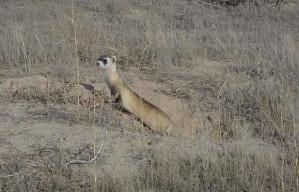 black, footed, ferret, American, polecat, prairie, dog, hunter, animal, mustela, nigripes