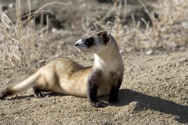 black, footed, ferret, picture