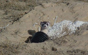 blackfooted, ferret, artificial, holes