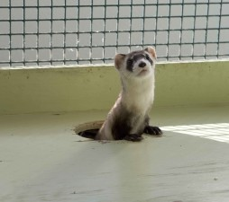 mustela, nigripes, black, footed, ferret, cage