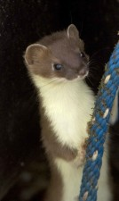 short tailed, weasel, up-close, head, mustela, erminea