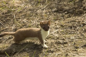 short tailed, weasel, ermine, animal, mustela, erminea