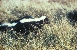 rayé, skunk, mephitis, mephitis, omnivores, mammifère