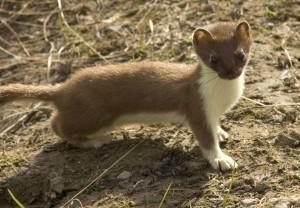 weasel, short tailed, mammal, mustela, erminea