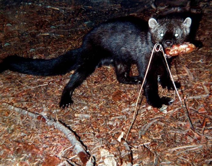 Fisheru, životinja, oportunistički, grabežljivac