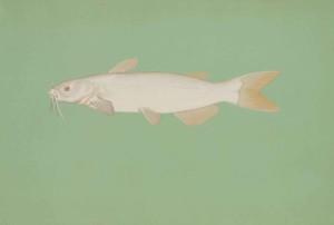 albino, channel, catfish, ictalurus, punctatus