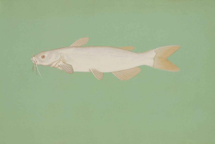 free picture albino channel catfish ictalurus punctatus