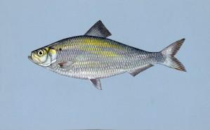 alewife, fish