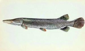 cocodrilo, peces