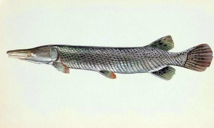 alligator, fish