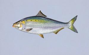 American, shad, fish, alosa sapidissima