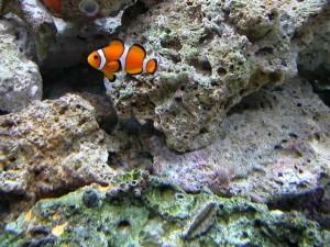 ordinary, clown, fish