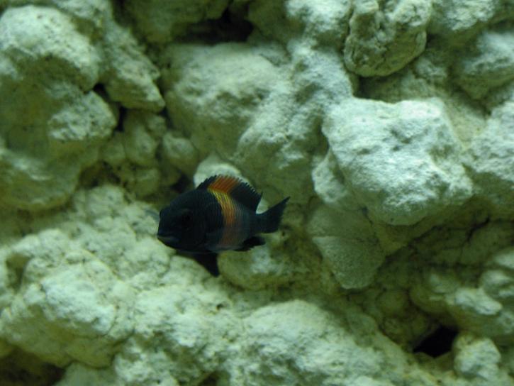 aquarium, poissons, noir
